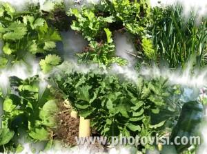 畑野菜1028
