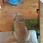 我が家の愛犬さくらちゃん♡